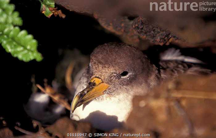 Cory's shearwater on nest {Calonectris diomedea} Azores, Atlantic ocean  ,  BIRD,BIRDS,NESTS,SEABIRDS,UNDERGROUND,CORY,INCUBATION,SHEARWATERS  ,  SIMON KING