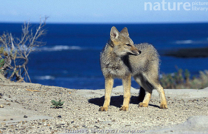 Argentine grey fox {Pseudolopex griseus} Peninsula Valdes, Argentina  ,  COASTS,FOXES,LANDSCAPES,MAMMAL,SOUTH AMERICA,CARNIVORES,MAMMALS,DOGS,CANIDS  ,  SIMON KING
