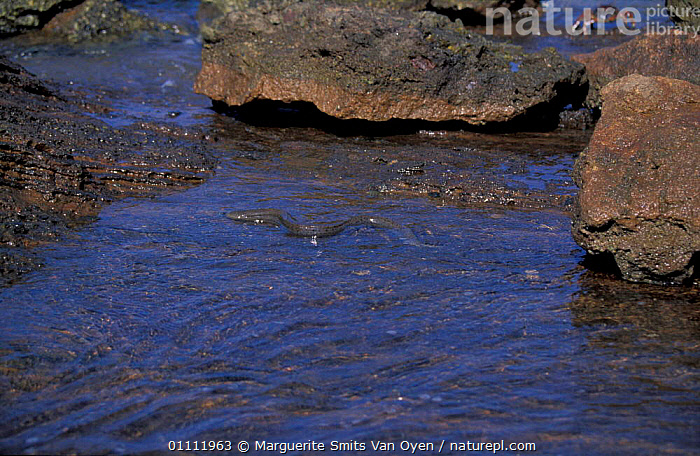 Moray eel on coast of The Seven Brothers coral islands, Djibouti, East Africa  ,  COASTS,CORAL REEFS,EAST AFRICA,LANDSCAPES,FISH,LEDGES,SEA,AFRICA,MARINE,EAST-AFRICA  ,  Marguerite Smits Van Oyen
