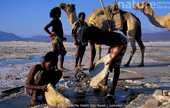 Afar tribesmen mining salt, Lac Assal, Djibouti, East Africa. 150m below sea level. Sea water seeps through into lake and evaporates.  ,  PEOPLE,TRIBES,TRADITIONAL,HORIZONTAL,LEVEL,MINERALS,LAKES,LANDSCAPES,CAMEL,CAMELS,EAST-AFRICA,Africa  ,  Marguerite Smits Van Oyen