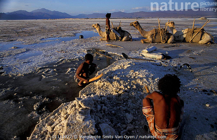 Afar tribesmen mining salt, Lac Assal, Djibouti, East Africa. 150m below sea level. sea water  ,  CAMEL,LANDSCAPES,MINERALS,LEVEL,HORIZONTAL,TRADITIONAL,TRIBES,PEOPLE,EAST-AFRICA,Africa  ,  Marguerite Smits Van Oyen