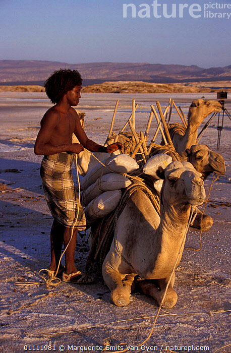Afar tribesman loading salt onto camel. Lac Assal, Djibouti, East Africa. 150m below sea  ,  CAMEL,LANDSCAPES,MINERALS,LEVEL,MINING,VERTICAL,TRADITIONAL,TRIBES,TRANSPORT,WORKING,PEOPLE,EAST-AFRICA,Africa  ,  Marguerite Smits Van Oyen