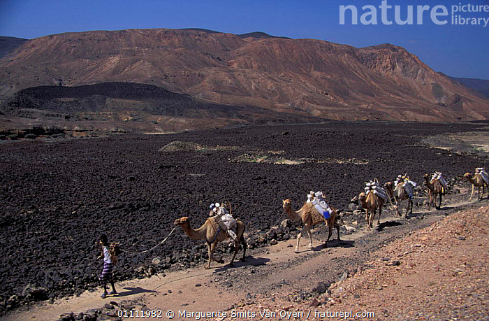 Afar tribesman + camels transporting salt from Lac Assal, Djibouti, East Africa.  ,  PEOPLE,SEA,WORKING,TRANSPORT,TRIBES,TRADITIONAL,MINING,LEVEL,MINERALS,LANDSCAPES,HORIZONTAL,CAMEL,150M,EAST-AFRICA,Africa  ,  Marguerite Smits Van Oyen