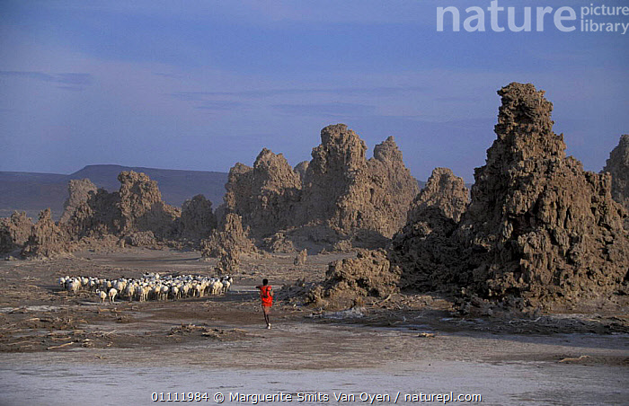 Mineral 'chimneys' of Lac Abbe, Djibouti, East Africa + herdsman with flock of goats. Chimneys  ,  PEOPLE,ROCK FORMATIONS,TRADITIONAL,MIST,MINERALS,LIVESTOCK,LAKES,LAKE,LANDSCAPES,MAMMALS,HORIZONTAL,GOATS,HERD,FORMED,ARTIODACTYLA,EXPOSED,GEOLOGY,EAST-AFRICA,Africa  ,  Marguerite Smits Van Oyen