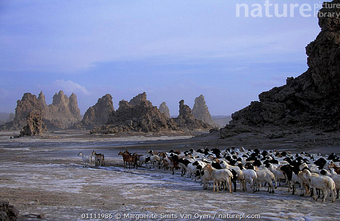 Mineral 'chimneys' of Lac Abbe, Djibouti, East Africa + herdsman with flock of goats. Chimneys  ,  PEOPLE,PLAIN,ROCK FORMATIONS,TRADITIONAL,MINERALS,LIVESTOCK,LANDSCAPES,LAKES,MAMMALS,HORIZONTAL,GOATS,HERD,ARTIODACTYLA,EXPOSED,DESERTS,GEOLOGY,EAST-AFRICA,Africa  ,  Marguerite Smits Van Oyen
