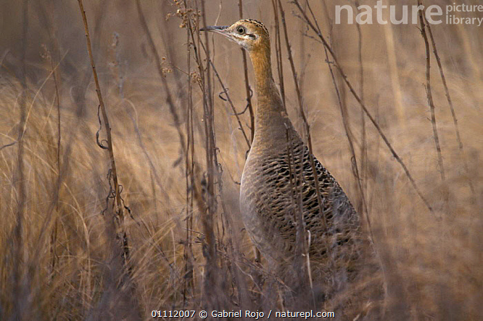 Red winged tinamou camouflaged in grass {Rhynchotus rufescens} Argentina  ,  BIRDS,CAMOUFLAGE,HORIZONTAL,GRASSLANDS,SOUTH AMERICA,VERTICAL,TINAMOUS  ,  Gabriel Rojo