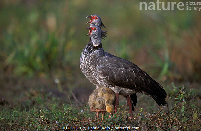 Crested (southern) screamer, pair 'screaming' + chick {Chauna torquata} Argentina  ,  SOUTH AMERICA,SCREAMERS,SOUTHERN,VOCALISATION,WETLANDS,FAMILIES,HORIZONTAL,MARSHES,MALE FEMALE PAIR,BIRDS,BEHAVIOUR,CHICKS  ,  Gabriel Rojo