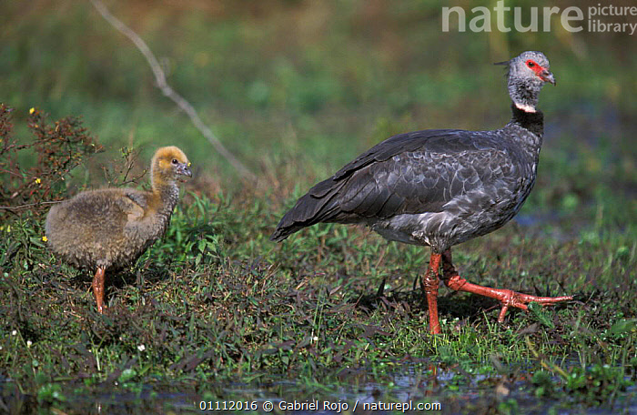 Crested (southern) screamer + chick {Chauna torquata} Argentina  ,  PARENTAL,SOUTH AMERICA,SCREAMERS,SOUTHERN,WETLANDS,FAMILIES,HORIZONTAL,MARSHES,BIRDS,ARGENTINA,CHICKS  ,  Gabriel Rojo