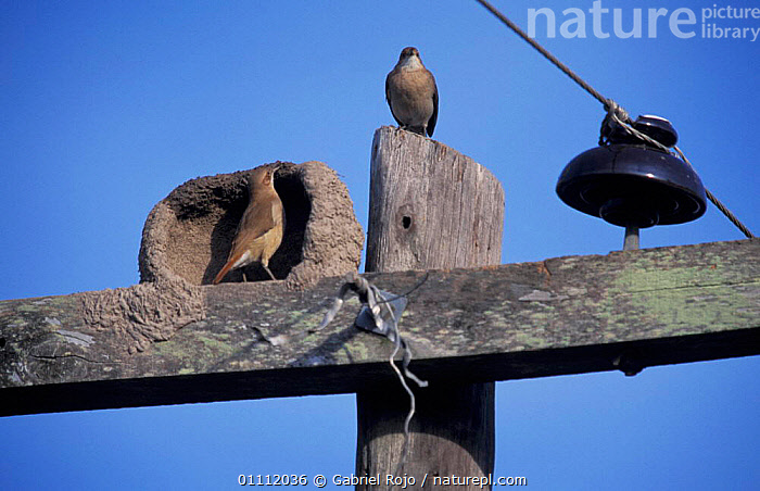 Ovenbird / Rufous hornero pair at nest on telegraph pole {Furnarius rufus} Argentina  ,  BIRDS,WIRE,INTERESTING,MALE FEMALE PAIR,NESTS,SOUTH AMERICA,TELEPHONE,TWO  ,  Gabriel Rojo