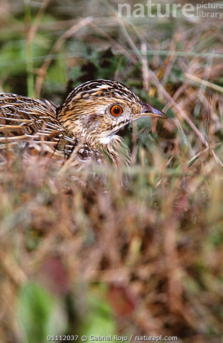 Spotted tinamou camouflaged in grass {Nothura maculosa} Argentina  ,  BIRDS,CAMOUFLAGE,GRASSLAND,HEADS,SOUTH AMERICA,SPOTTED,TINAMOUS,VERTEBRATES,VERTICAL  ,  Gabriel Rojo