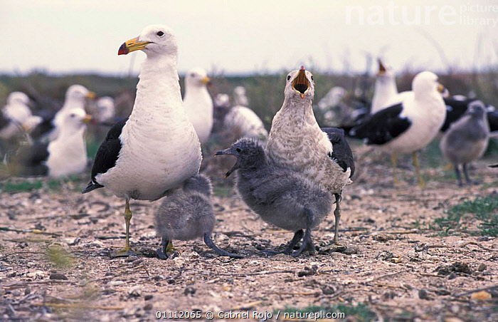 Band-tailed gull with juvenile + chicks calling {Larus belcheri} Argentina  ,  BABIES,BEHAVIOUR,BIRDS,COASTS,FAMILIES,FAMILY,GULLS,SEABIRDS,SEAGULL,SEAGULLS,SOUTH AMERICA,VOCALISATION  ,  Gabriel Rojo