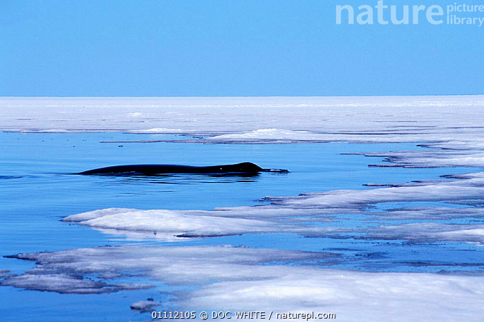 Bowhead whale {Balaena mysticetus} at surface  in arctic ice, Baffin Island, Canadian Arctic  ,  ARCTIC,CANADA,CETACEANS,COLD,CROWN,HUMP,LARGE,MAMMALS,MARINE,PROFILE,WHALES,NORTH AMERICA  ,  DOC WHITE