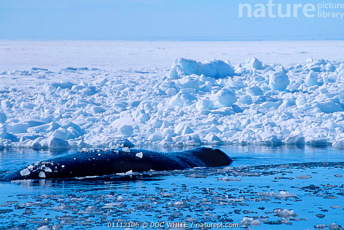 Bowhead whale {Balaena mysticetus} at surface in arctic ice, Baffin Island, Canadian Arctic  ,  ARCTIC,CANADA,CETACEANS,COLD,ISLAND,LARGE,MAMMALS,MARINE,SURFACE,WHALES,NORTH AMERICA  ,  DOC WHITE