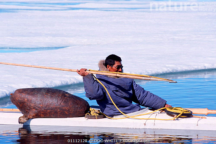 Inuit hunter takes aim with harpoon; sealskin float is on back of boat, Canadian Arctic  ,  BOATS,CANADIAN,CULTURES,HUNTER,HUNTING,INUIT,KAYAKS,MAN,PEOPLE,TRADITIONAL,North America  ,  DOC WHITE