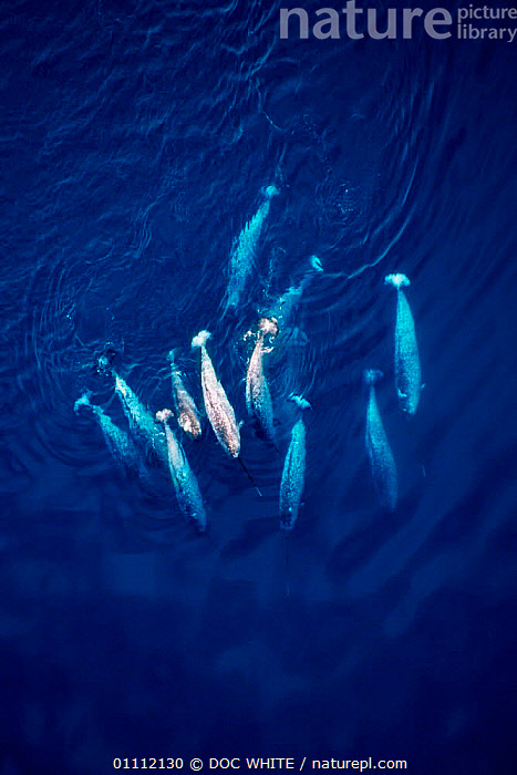 Aerial of Narwhal pod {Monodon monoceros} Baffin Island, Canadian Arctic  ,  AERIAL,ARCTIC,CANADA,CETACEANS,COLD,FAMILIES,GROUPS,ISLAND,MAMMALS,MARINE,NARWHALS,WHALES,WHITE,NORTH AMERICA ,AERIALS,Catalogue1  ,  DOC WHITE