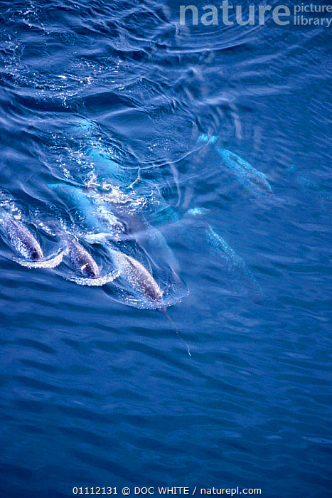Narwhal pod travelling {Monodon monoceros} Baffin Island, Canadian Arctic  ,  AERIAL,ARCTIC,CANADA,CETACEANS,COLD,GROUPS,MAMMALS,MARINE,SURFACE,WHALES,NORTH AMERICA ,AERIALS  ,  DOC WHITE