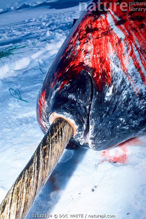 Dead Narwhal {Monodon monoceros} base of tusk and mouth; caught by Inuit hunters, Baffin Island, Canadian Arctic  ,  ARCTIC,BLOOD,BLOODY,CANADA,CAUGHT,CETACEANS,DEAD,HUNTED,MARINE,TUSKS,WHALES,NORTH AMERICA  ,  DOC WHITE
