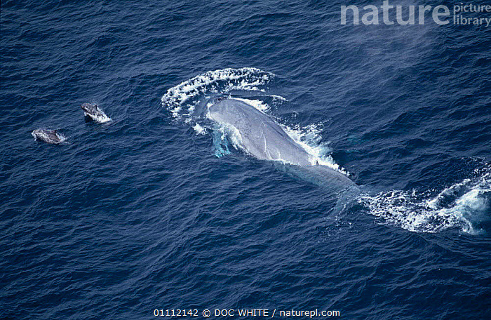 Aerial  Blue whale at sea surface {Balaenoptera musculus} swimming with two Risso's dolphins, Mexico  ,  CETACEANS,MAMMALS,MARINE,MIXED SPECIES,PACIFIC,SURFACE,TROPICAL ,AERIALS,,Baleen whale,  ,  DOC WHITE
