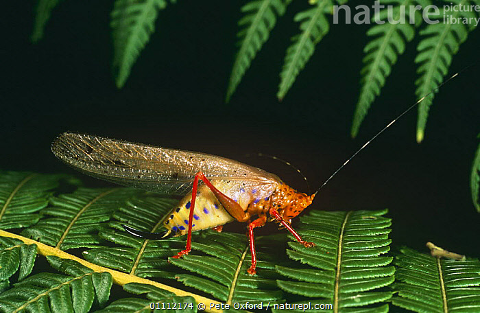 Tropical Katydid (Copiphora sp) Equadorian Amazon, South America  ,  ARTHROPODS,COLOURFUL,CRICKETS,GRASSHOPPERS,INSECTS,INVERTEBRATES,KATYDIDS,LONG HORNED GRASSHOPPERS,NIGHT,ORTHOPTERA,PROFILE,TROPICAL,WINGS  ,  Pete Oxford