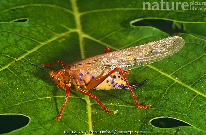 Tropical Katydid (Copiphora sp), Equadorian Amazon, South America  ,  ARTHROPODS,COLOURFUL,CRICKETS,GRASSHOPPERS,INSECTS,INVERTEBRATES,KATYDIDS,LEAVES,LONG HORNED GRASSHOPPERS,ORTHOPTERA,PROFILE,SPOTS,TROPICAL,WINGS  ,  Pete Oxford