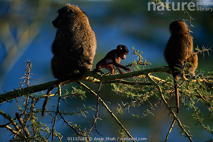Olive baboons with baby in thorn tree {Papio anubis} Masai Mara, Kenya  ,  AFRICA,BABIES,BABOONS,EAST AFRICA,FAMILIES,GROUPS,HORIZONTAL,KENYA,MAMMALS,PRIMATES,RESERVE,MONKEYS  ,  Anup Shah