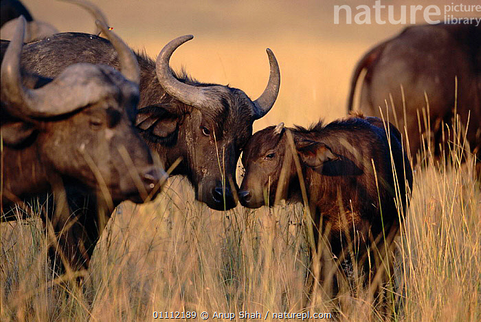 African buffalo greeting young {Syncerus caffer} Masai Mara, Kenya  ,  AFFECTION,AFRICA,AS,BABIES,EAST AFRICA,FAMILIES,HORIZONTAL,KENYA,MAMMALS,RESERVE,SNIFFING,CATTLE  ,  Anup Shah
