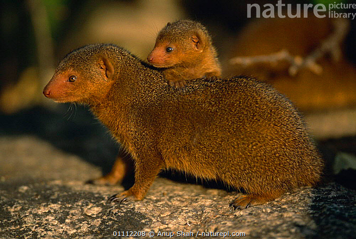 Dwarf mongoose with young {Helogale parvula} Serengeti NP, Tanzania  ,  AFRICA,CARNIVORES,CUTE,EAST AFRICA,FAMILIES,FAMILY,HORIZONTAL,MAMMALS,MONGOOSE,NP,RESERVE,SERENGETI,SHAH,TANZANIA,YOUNG,NATIONAL PARK,,Serengeti National Park, UNESCO World Heritage Site,  ,  Anup Shah