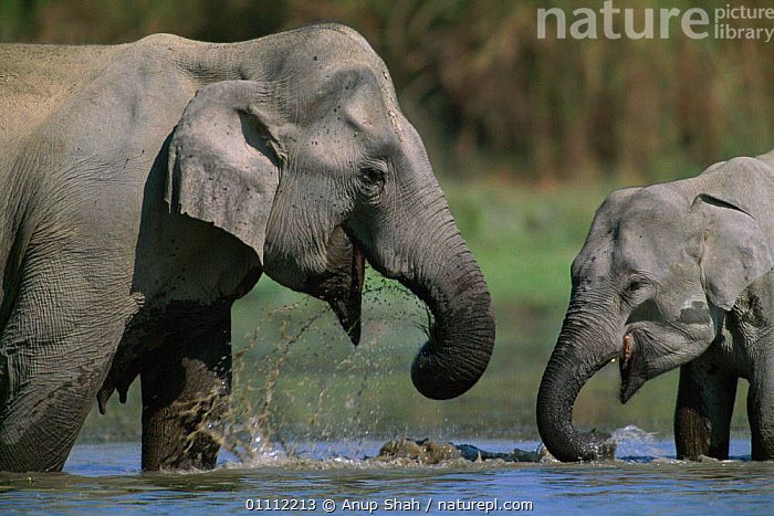Indian elephant mother with young drinking in water {Elephas maximus} India  ,  ASIA,BABIES,BEHAVIOUR,DRINKING,ELEPHANTS,FAMILIES,HORIZONTAL,INDIA,INDIAN SUBCONTINENT,MAMMALS,PROBOSCIDS,SPLASHING,TWO,WATER,YOUNG  ,  Anup Shah