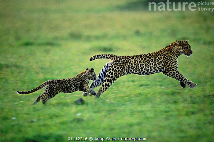 Leopard (Half tail) running with cub {Panthera pardus} Masai Mara, Kenya  ,  ACTION,AFRICA,CARNIVORES,EAST AFRICA,FAMILIES,HORIZONTAL,KENYA,LEOPARDS,MAMMALS,RESERVE,RUNNING,TAILS,TWO,BIG CATS  ,  Anup Shah