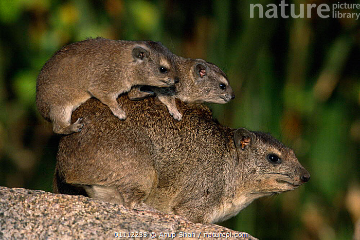 Baby Rock hyrax climbing on mother's back {Procavia capensis} Serengeti NP, Tanzania  ,  AFRICA,BABIES,EAST AFRICA,FAMILIES,HORIZONTAL,HUMOROUS,MAMMALS,PARENTAL,SERENGETI,TANZANIA,CONCEPTS,,Serengeti National Park, UNESCO World Heritage Site,  ,  Anup Shah