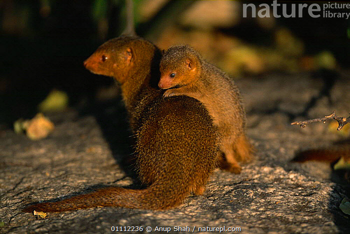 Dwarf mongoose mother with young {Helogale parvula} Serengeti NP, Tanzania  ,  AFRICA,BABIES,CARNIVORES,CUTE,EAST AFRICA,FAMILIES,HORIZONTAL,MAMMALS,NP,SERENGETI,TANZANIA,YOUNG,NATIONAL PARK,,Serengeti National Park, UNESCO World Heritage Site,  ,  Anup Shah