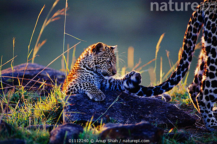 Leopard cub playing with mother's tail {Panthera pardus}  ,  AFRICA,CARNIVORES,CUTE,EAST AFRICA,FAMILIES,HORIZONTAL,HUMOROUS,JUVENILE,KENYA,LEOPARDS,MAMMALS,PLAYING,RESERVE,TAILS,CONCEPTS,BIG CATS,Catalogue1  ,  Anup Shah