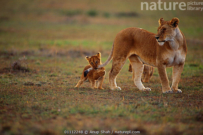 Lion cub playing with mother's tail {Panthera leo} Masai Mara, Kenya  ,  AFRICA,BABIES,BEHAVIOUR,CARNIVORES,CUTE,EAST AFRICA,FAMILIES,HORIZONTAL,KENYA,LIONESS,LIONS,MAMMALS,MOTHER,PLAY,TAILS,COMMUNICATION,BIG CATS  ,  Anup Shah