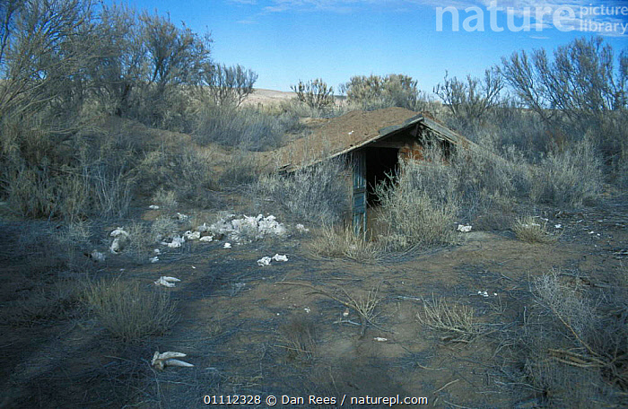 Saiga antelope skulls discarded after removal of horn, next to concealed poachers hut, Betpak  ,  ASIA,BESIDE,BUILDINGS,DALA,DESERT,DESERTS,HORNS,HUNTER,HUNTERS,ILLEGAL,KASAKSTAN,LANDSCAPE,LANDSCAPES,POACHING,RUSSIA,TATARICA  ,  Dan Rees
