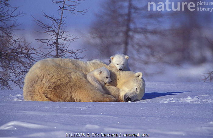 Polar bear resting with two 3-month-old cubs {Ursus maritimus} Churchill, Manitoba,  ,  3M OLD,ARCTIC,BABIES,BEARS,CANADA,CARNIVORES,CUTE,FAMILIES,FAMILY,MAMMALS,NORTH AMERICA,SNOW  ,  Eric Baccega
