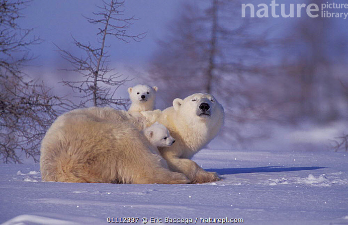 Polar bear with two 3-month-old cubs {Ursus maritimus} Churchill, Manitoba, Canada  ,  ARCTIC,BABIES,BEARS,CARNIVORES,CUTE,FAMILIES,FAMILY,MAMMALS,NORTH AMERICA,RESTING,SNOW ,CANADA  ,  Eric Baccega