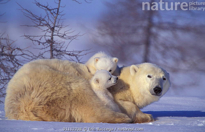 Polar bear with two 3m-old cubs {Ursus maritimus} Churchill, Manitoba, Canada  ,  THREE MONTH OLD,SNOW,RESTING,ARCTIC,CARNIVORES,BEARS,BABIES,BABY,CUTE,MAMMALS,NORTH,AMERICA,MOTHER,HORIZONTAL,FAMILIES ,CANADA,North America  ,  Eric Baccega