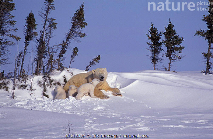 Polar bear resting with three 3-month-old cubs {Ursus maritimus} Churchill, Manitoba,  ,  ARCTIC,BABIES,BEARS,CANADA,CARNIVORES,CUTE,FAMILIES,FAMILY,MAMMALS,NORTH AMERICA,SNOW  ,  Eric Baccega