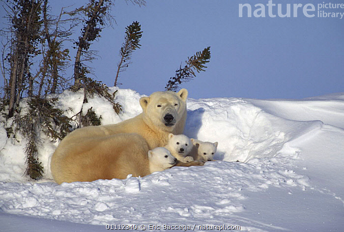 Polar bear resting with three 3 month old cubs (Ursus maritimus) Churchill, Manitoba, Canada  ,  ARCTIC,BABIES,BEARS,CANADA,CARNIVORES,CUBS,CUTE,DAYBED,FAMILIES,FEMALES,GROUPS,JUVENILE,MAMMALS,MOTHER,NORTH AMERICA,PARENTAL,POLAR,RESTING,SNOW,THREE,VERTEBRATES,YOUNG  ,  Eric Baccega