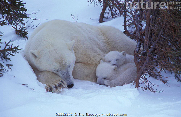 Polar bear sleeping with two 3m-old cubs {Ursus maritimus} Churchill, Manitoba, Canada  ,  FAMILIES,HORIZONTAL,NORTH,AMERICA,MAMMALS,CUTE,BABIES,BEARS,CARNIVORES,ARCTIC,RESTING,SNOW,THREE MONTH OLD ,CANADA,North America  ,  Eric Baccega