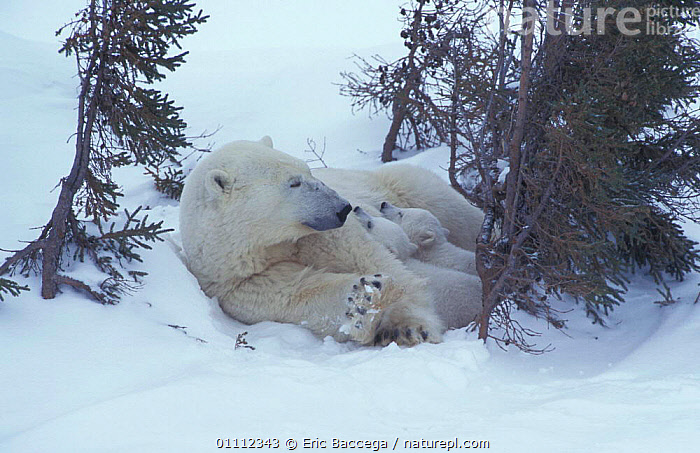 Polar bear resting with two 3-month-old cubs {Ursus maritimus} Churchill, Manitoba,  ,  ARCTIC,BABIES,BEARS,CANADA,CARNIVORE,CARNIVORES,CUTE,FAMILIES,FAMILY,MAMMALS,NORTH AMERICA,SNOW  ,  Eric Baccega