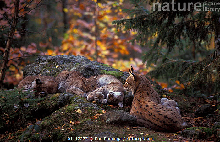 Lynx mother with three 5-month-old cubs {Lynx lynx} captive, Bayerisherwald Park,  ,  BABIES,CARNIVORES,CATS,EUROPE,EUROPEAN,FAMILIES,FAMILY,FEMALE,GERMANY,MAMMALS,WOODLANDS  ,  Eric Baccega