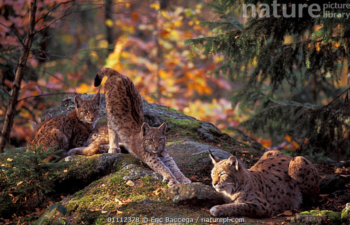 Lynx female with three 5m-old cubs {Lynx lynx} Bayerisherwald Park, Germany  ,  HORIZONTAL,FAMILIES,MOTHER,MAMMALS,BABIES,BABY,CARNIVORES,CAPTIVE,CATS,EUROPEAN,EUROPE,WOODLANDS,RESERVE  ,  Eric Baccega