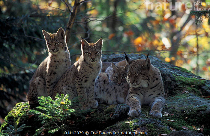 Lynx mother with three 5-month-old cubs {Lynx lynx} captive Bayerisherwald Park,  ,  BABIES,CARNIVORES,CATS,EUROPE,EUROPEAN,FAMILIES,FAMILY,FEMALE,GERMANY,MAMMALS,WOODLANDS  ,  Eric Baccega
