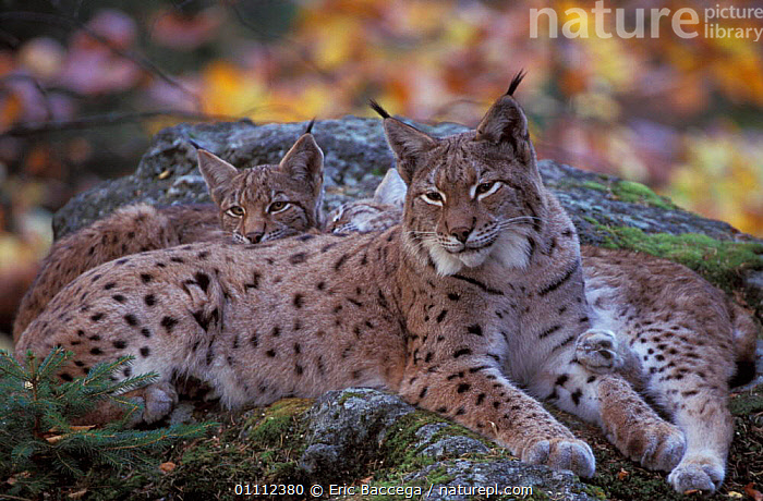 Lynx female with three 5m-old cubs {Lynx lynx} Bayerisherwald Park, Germany  ,  RESERVE,WOODLANDS,EUROPE,EUROPEAN,CATS,CAPTIVE,CARNIVORES,BABY,BABIES,MAMMALS,MOTHER,FAMILIES,HORIZONTAL  ,  Eric Baccega