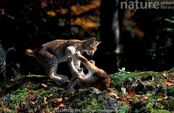 Two 5-month-old Lynx cubs {Lynx lynx} playing, captive, Bayerisherwald Park, Germany  ,  ACTION,BABIES,BEHAVIOUR,CARNIVORES,CATS,EUROPE,EUROPEAN,JUVENILE,MAMMALS,PLAY,WOODLANDS,COMMUNICATION  ,  Eric Baccega