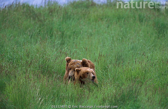 Grizzly bears mating in grass {Ursus arctos horribilis} Brooks river, Alaska, USA  ,  BEHAVIOUR,CARNIVORES,COPULATION,MALE FEMALE PAIR,MAMMALS,MATING BEHAVIOUR,NORTH AMERICA,REPRODUCTION,TWO ,BROWN BEAR  ,  Eric Baccega