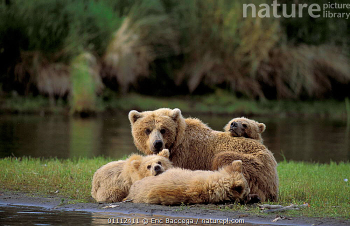 Grizzly bear with cubs resting {Ursus arctos horribilis} Brooks river, Alaska, USA  ,  BABIES,BEARS,CARNIVORES,CUTE,FAMILIES,FAMILY,MAMMALS,NORTH AMERICA,RIVERS,THREE ,BROWN BEAR  ,  Eric Baccega