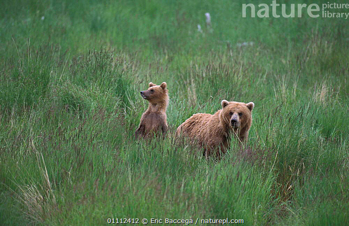 Grizzly bear with cub in grass {Ursus arctos horribilis} Brooks river, Alaska, USA  ,  BABIES,BEARS,CARNIVORES,CUBS,FAMILIES,FAMILY,MAMMALS,NORTH AMERICA,TWO ,BROWN BEAR  ,  Eric Baccega