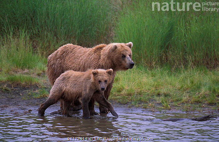 Grizzly brown bear with cub at river {Ursus arctos horribilis} Brooks river, Alaska  ,  TWO,MAMMALS,BABIES,FAMILIES,BEARS,CARNIVORES,USA,NORTH AMERICA,RIVERS,FISHING  ,  Eric Baccega